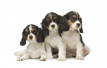 cavalierkingcharlesspanielpuppies