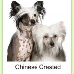 chinesecresteddogcreative