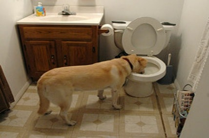dog drinks from toilet