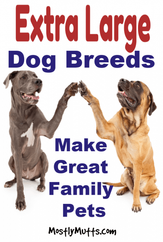 gentle giant dog breeds