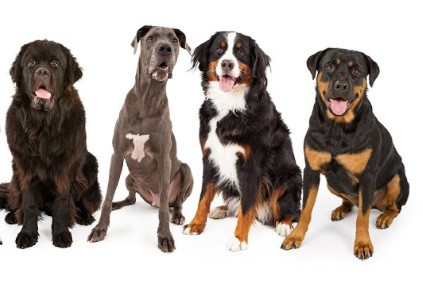 giant breed dogs