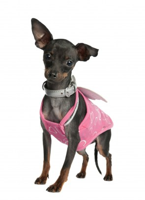 miniaturepinscher-2